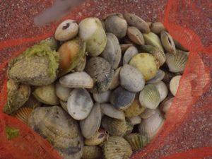 【アサリなどの二枚貝】獲るのは意外と難しい