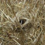 カヤネズミの巣